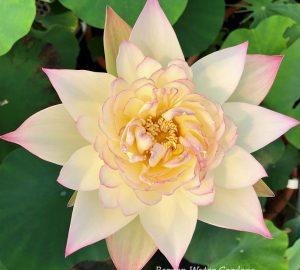 Pink Rosy Lotus
