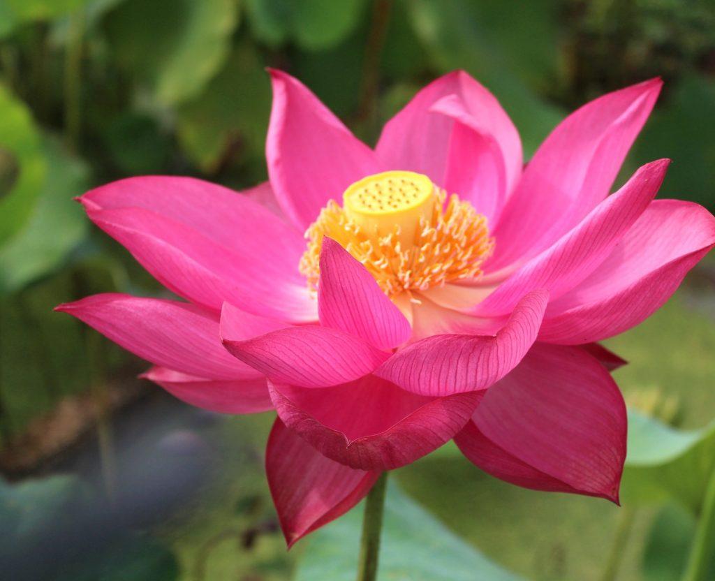 Beauty in Spring Rive Lotus
