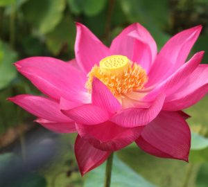 Beauty in Spring Rive Lotus