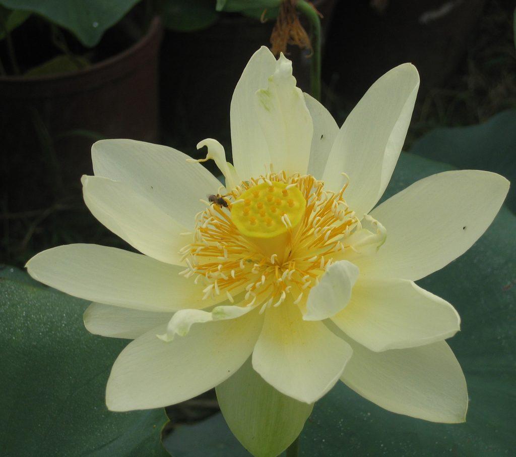 Tender Lady Lotus