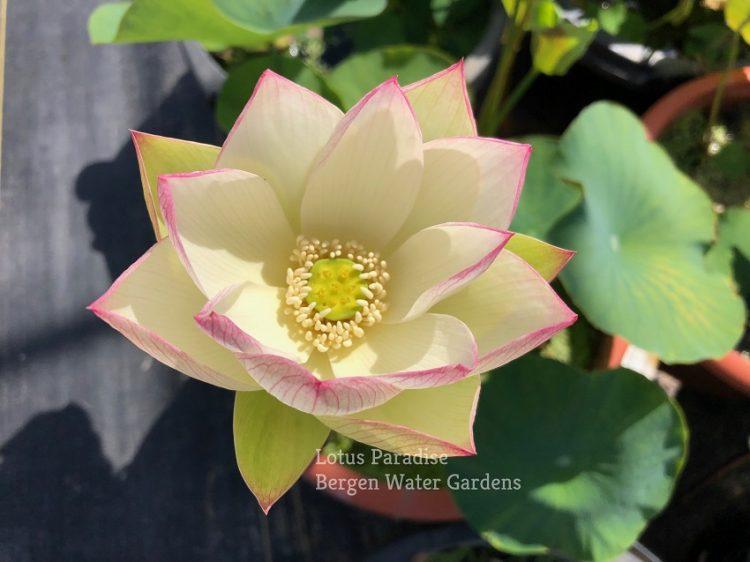 Snow Pink Lotus