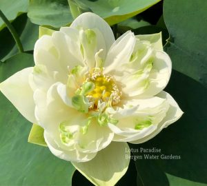 Bright White in Autumn Lotus