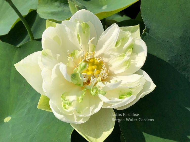 Bright White in Autumn Lotus