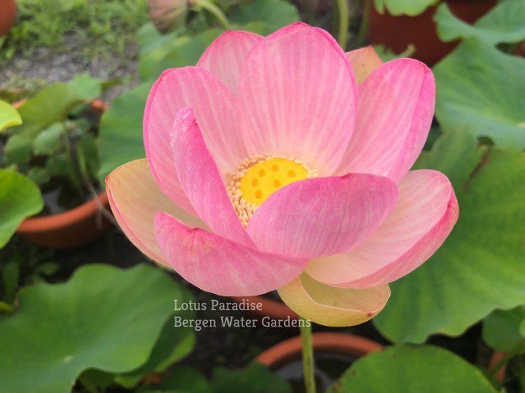 Buddha' s Light Lotus