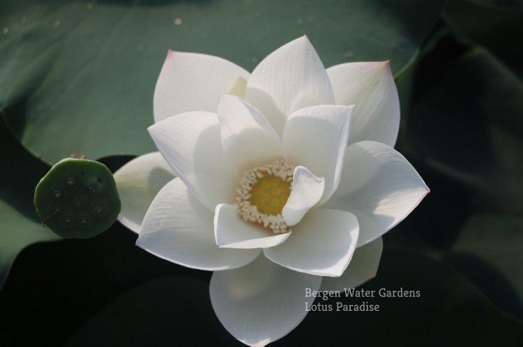 White Fairy Lotus