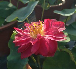 Blush Lotus