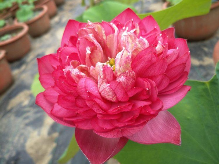 Celebrity Lotus