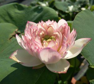 Childlike Lotus