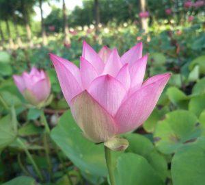 Fairy Tale Lotus