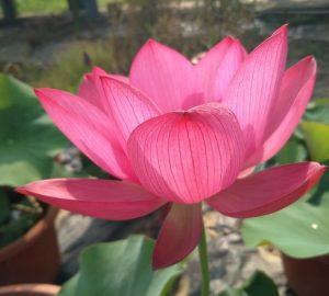 Fengyue Lotus