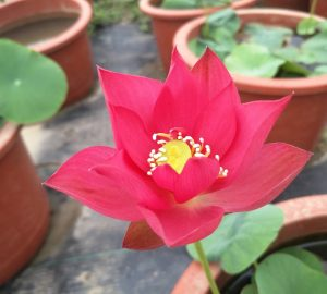 Fired Red Lotus