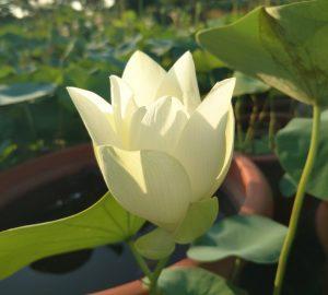 Lovely Kid Lotus