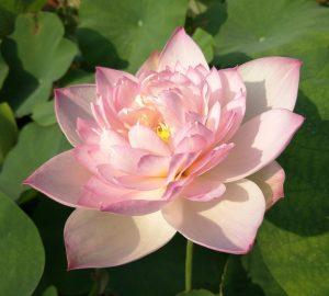 Midnight Storm Lotus