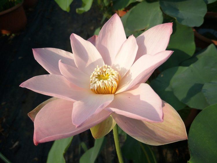 Moon of Yaochi Lotus