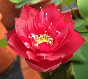 Red Flamingo Lotus
