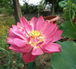 Shy Child Lotus