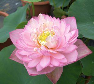 Wenjun Blush Lotus