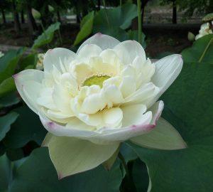 Wonderful Lotus