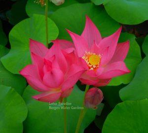Excellent Lotus