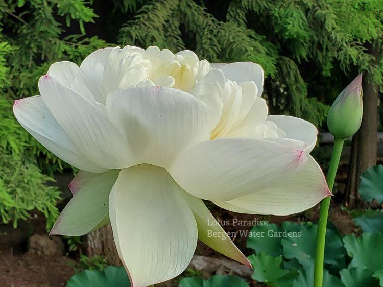 Zhong Shan Buddha's Melody Lotus