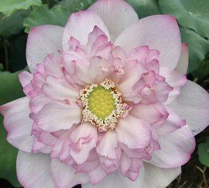 Sunrise in Spring Lotus