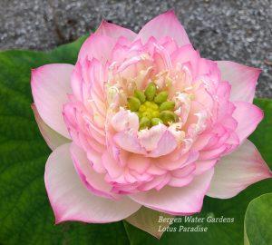 Gorgeous in Zhongshan Lotus