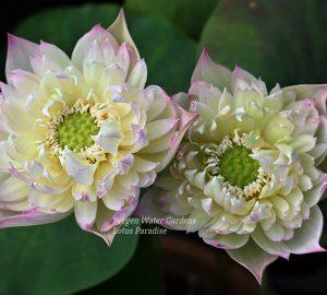 Drunken Hibiscus Lotus