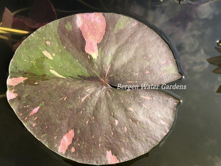 N. Painted Lady Waterlily