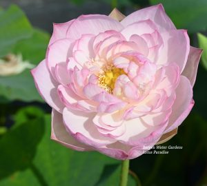 Beautiful Moon in Jinling Lotus