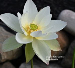 Buddha with Clear Water Lotus