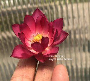 Jihe- Hong E Lotus